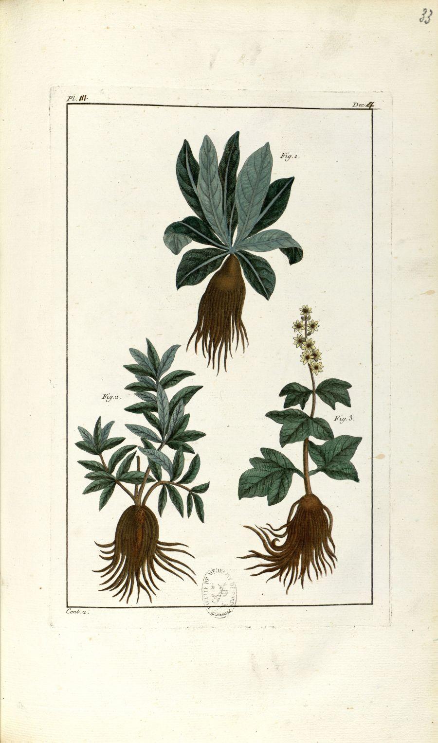 Planche III. Dec. 4. Cent. 2 - Herbier ou collection des plantes médicinales de la Chine d'après un  [...] - Botanique. Plantes (médecine). Chine. 18e siècle - med01989x0036