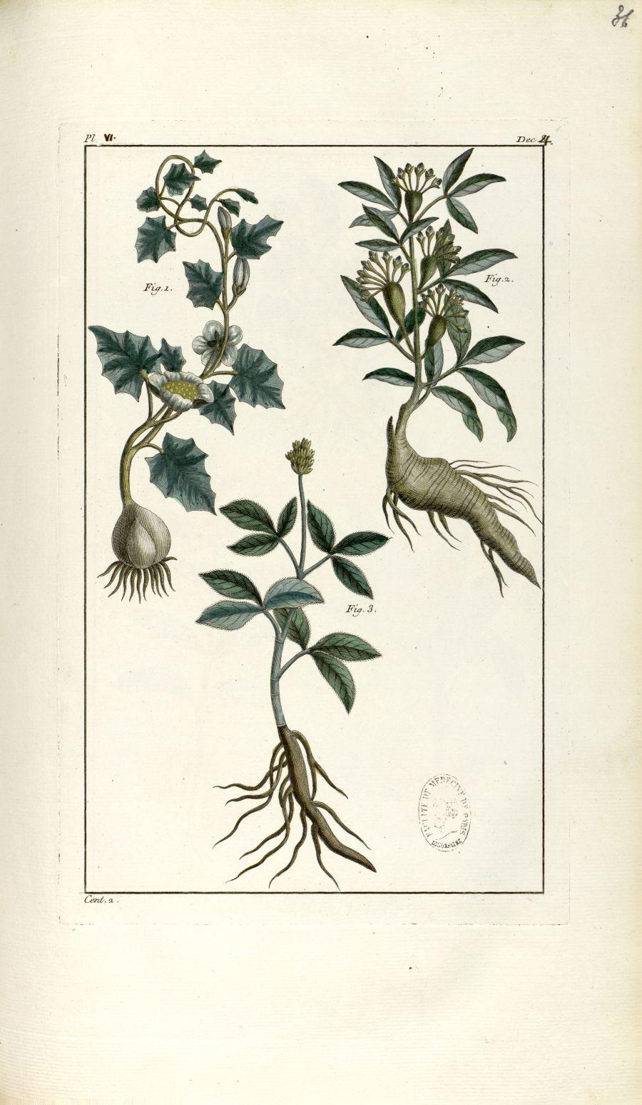 Planche VI. Dec. 4. Cent. 2 - Herbier ou collection des plantes médicinales de la Chine d'après un m [...] - Botanique. Plantes (médecine). Chine. 18e siècle - med01989x0039
