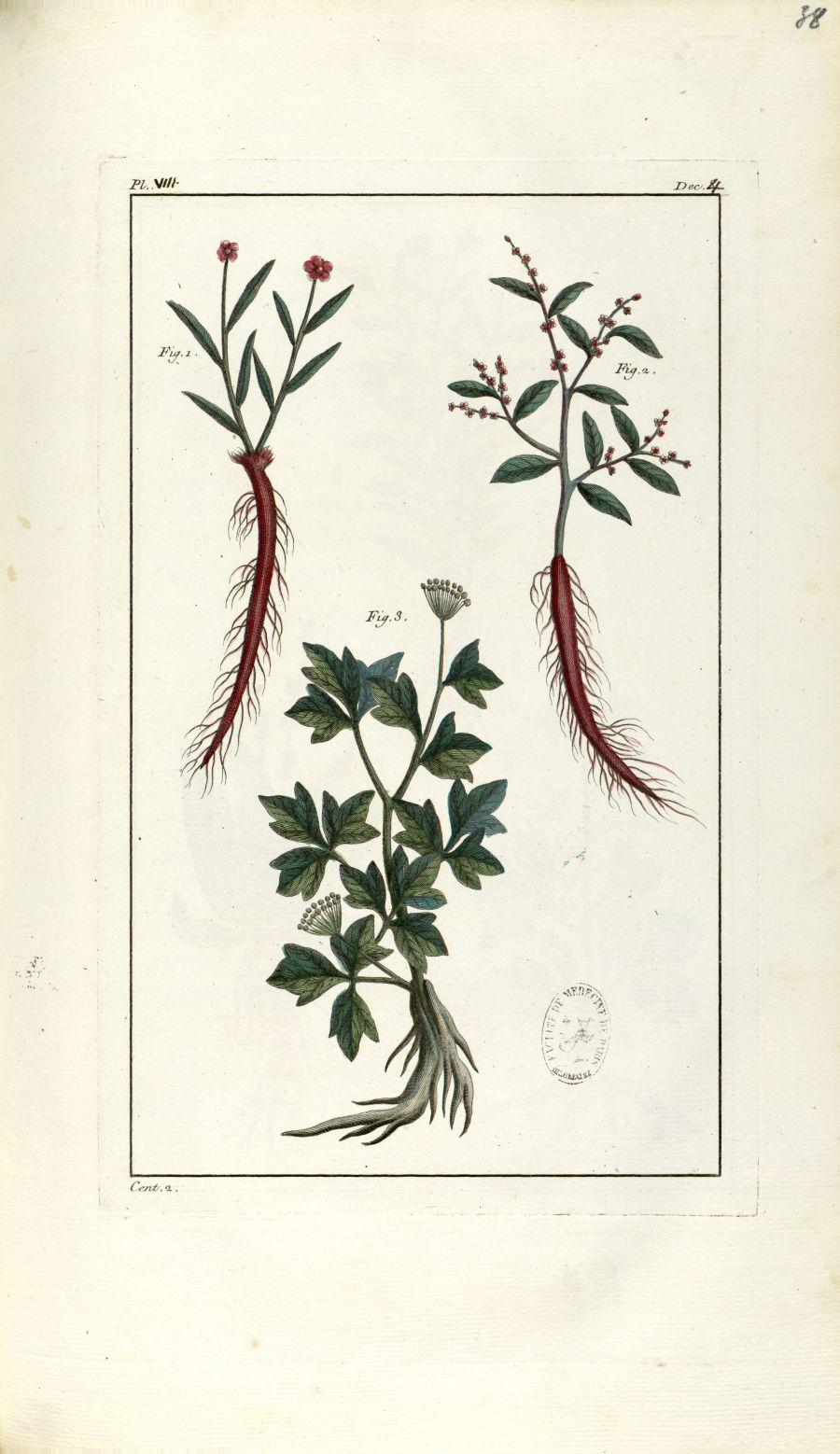Planche VIII. Dec. 4. Cent. 2 - Herbier ou collection des plantes médicinales de la Chine d'après un [...] - Botanique. Plantes (médecine). Chine. 18e siècle - med01989x0041