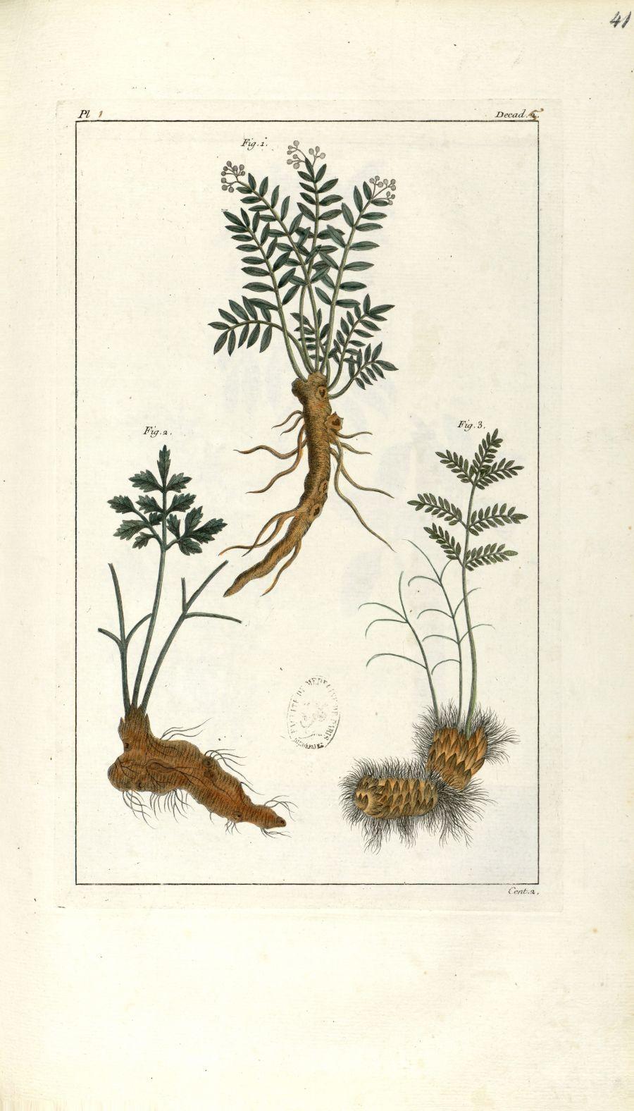 Planche I. Decad. 5. Cent. 2 - Herbier ou collection des plantes médicinales de la Chine d'après un  [...] - Botanique. Plantes (médecine). Chine. 18e siècle - med01989x0044