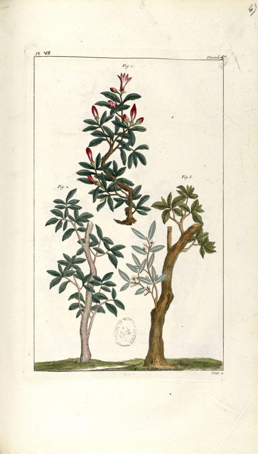 Planche VII. Decad. 5. Cent. 2 - Herbier ou collection des plantes médicinales de la Chine d'après u [...] - Botanique. Plantes (médecine). Chine. 18e siècle - med01989x0050