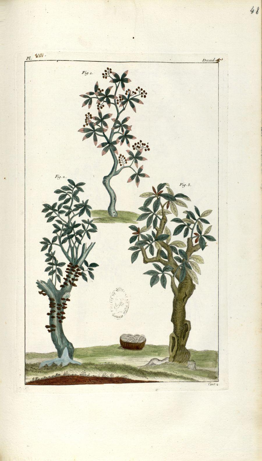 Planche VIII. Decad. 5. Cent. 2 - Herbier ou collection des plantes médicinales de la Chine d'après  [...] - Botanique. Plantes (médecine). Chine. 18e siècle - med01989x0051