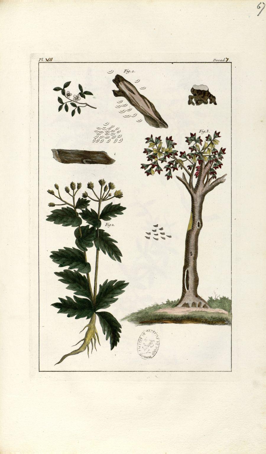 Planche VII. Decad. 7 - Herbier ou collection des plantes médicinales de la Chine d'après un manuscr [...] - Botanique. Plantes (médecine). Chine. 18e siècle - med01989x0070