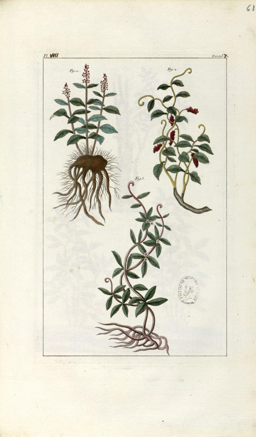 Planche VIII. Decad. 7 - Herbier ou collection des plantes médicinales de la Chine d'après un manusc [...] - Botanique. Plantes (médecine). Chine. 18e siècle - med01989x0071