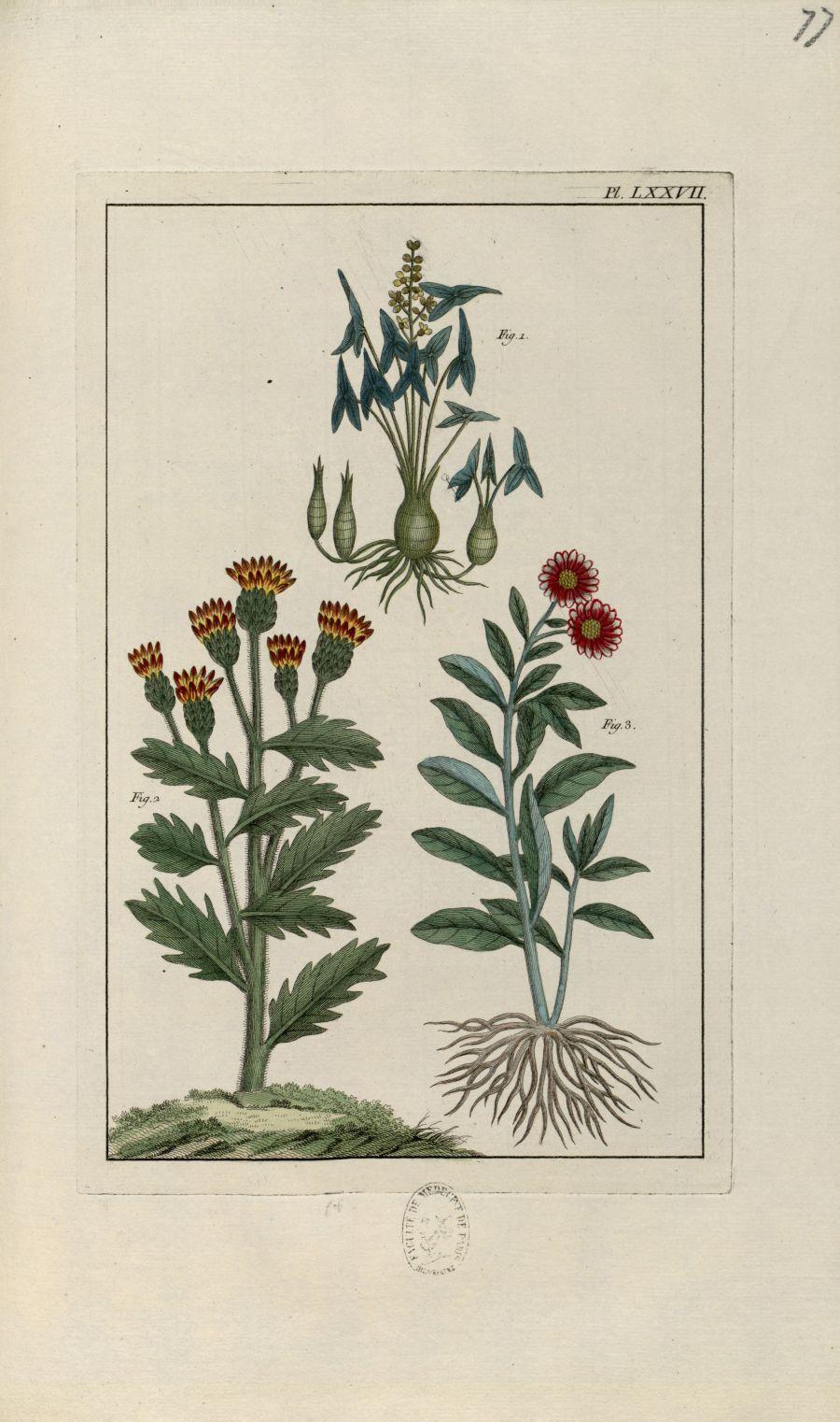 Planche LXXVII - Herbier ou collection des plantes médicinales de la Chine d'après un manuscrit pein [...] - Botanique. Plantes (médecine). Chine. 18e siècle - med01989x0080