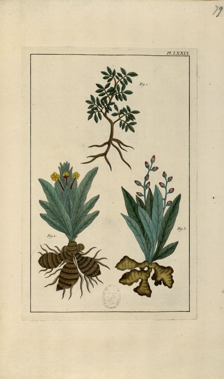 Planche LXXIX - Herbier ou collection des plantes médicinales de la Chine d'après un manuscrit peint [...] - Botanique. Plantes (médecine). Chine. 18e siècle - med01989x0082