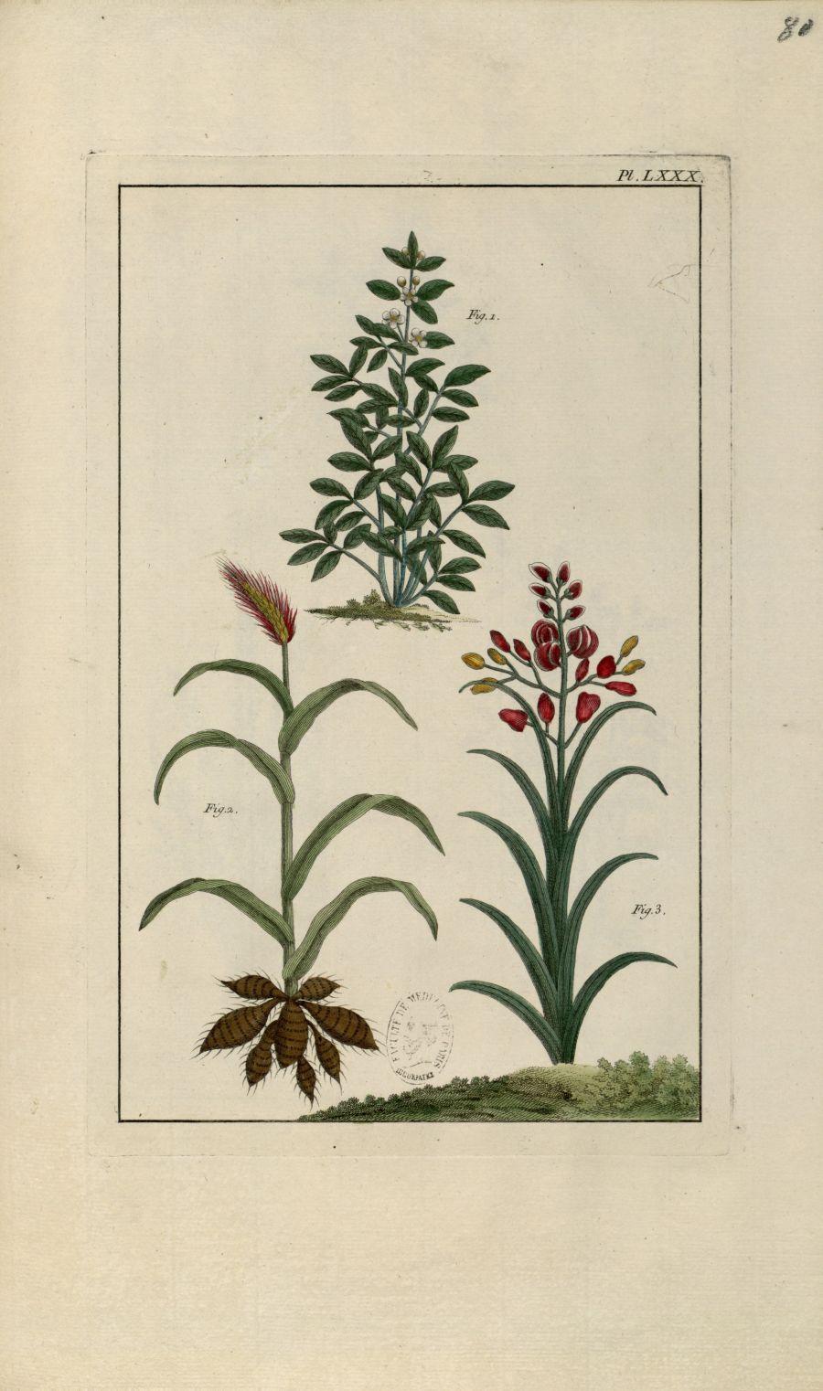 Planche LXXX - Herbier ou collection des plantes médicinales de la Chine d'après un manuscrit peint  [...] - Botanique. Plantes (médecine). Chine. 18e siècle - med01989x0083