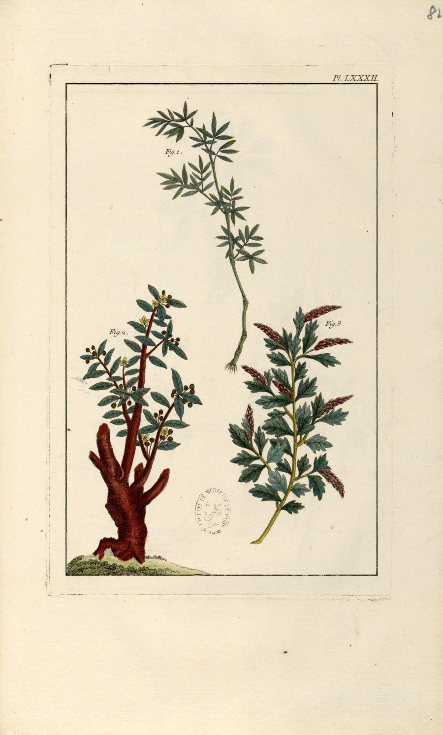 Planche LXXXII - Herbier ou collection des plantes médicinales de la Chine d'après un manuscrit pein [...] - Botanique. Plantes (médecine). Chine. 18e siècle - med01989x0085