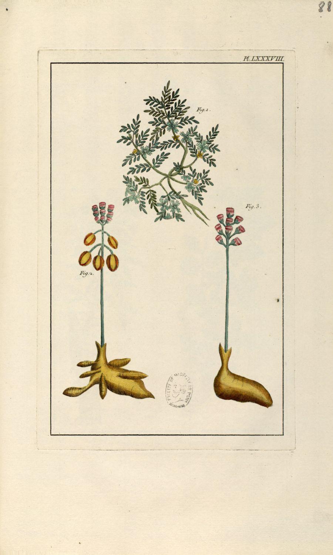 Planche LXXXVIII - Herbier ou collection des plantes médicinales de la Chine d'après un manuscrit pe [...] - Botanique. Plantes (médecine). Chine. 18e siècle - med01989x0091