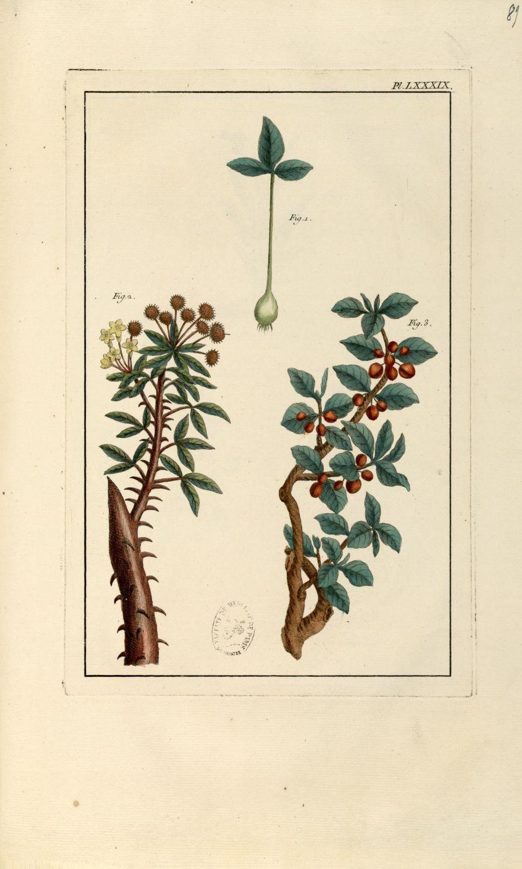Planche LXXXIX - Herbier ou collection des plantes médicinales de la Chine d'après un manuscrit pein [...] - Botanique. Plantes (médecine). Chine. 18e siècle - med01989x0092