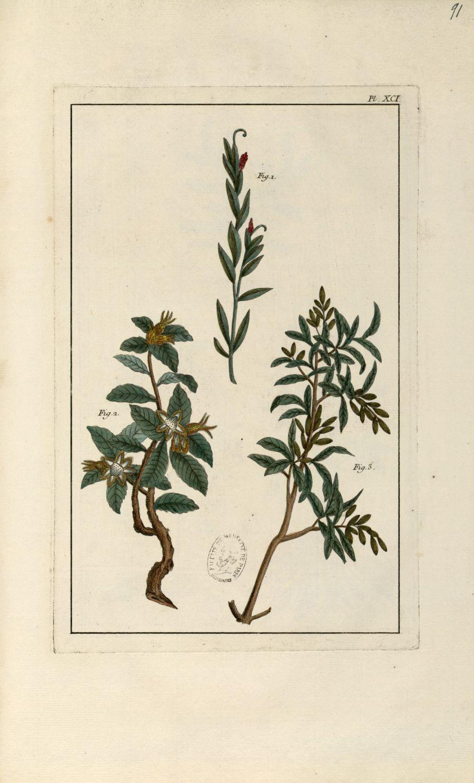 Planche XCI - Herbier ou collection des plantes médicinales de la Chine d'après un manuscrit peint e [...] - Botanique. Plantes (médecine). Chine. 18e siècle - med01989x0094