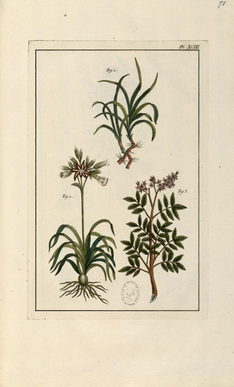 Planche XCIII - Herbier ou collection des plantes médicinales de la Chine d'après un manuscrit peint [...] - Botanique. Plantes (médecine). Chine. 18e siècle - med01989x0096