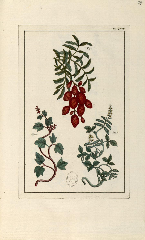 Planche XCIV - Herbier ou collection des plantes médicinales de la Chine d'après un manuscrit peint  [...] - Botanique. Plantes (médecine). Chine. 18e siècle - med01989x0097