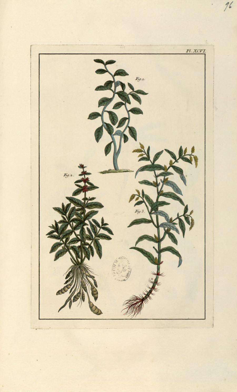 Planche XCVI - Herbier ou collection des plantes médicinales de la Chine d'après un manuscrit peint  [...] - Botanique. Plantes (médecine). Chine. 18e siècle - med01989x0099