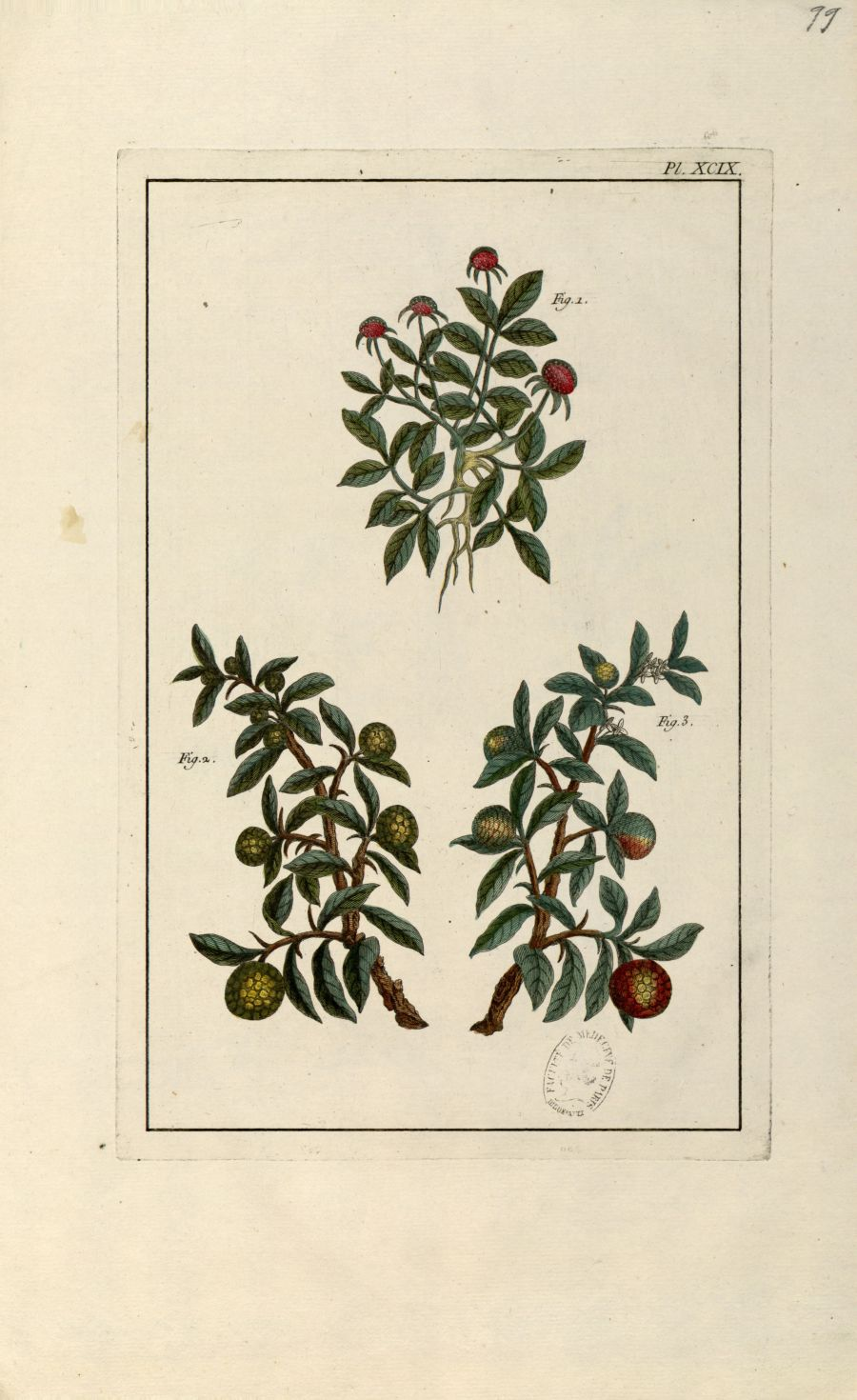 Planche XCIX - Herbier ou collection des plantes médicinales de la Chine d'après un manuscrit peint  [...] - Botanique. Plantes (médecine). Chine. 18e siècle - med01989x0102
