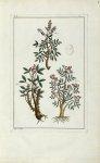 Planche II - Herbier ou collection des plantes médicinales de la Chine d'après un manuscrit peint et [...]