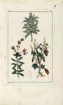 Planche VII - Herbier ou collection des plantes médicinales de la Chine d'après un manuscrit peint e [...]