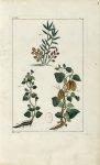Planche VIII - Herbier ou collection des plantes médicinales de la Chine d'après un manuscrit peint  [...]