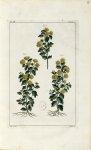 Planche III. Decad. 2 - Herbier ou collection des plantes médicinales de la Chine d'après un manuscr [...]