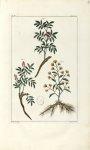 Planche IV. Decad. 2 - Herbier ou collection des plantes médicinales de la Chine d'après un manuscri [...]