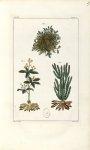 Planche VII. Decad. 2 - Herbier ou collection des plantes médicinales de la Chine d'après un manuscr [...]