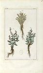 Planche VIII. Decad. 2 - Herbier ou collection des plantes médicinales de la Chine d'après un manusc [...]