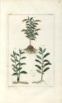 Planche IX. Decad. 2 - Herbier ou collection des plantes médicinales de la Chine d'après un manuscri [...]