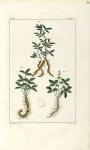 Planche X. Decad. 2 - Herbier ou collection des plantes médicinales de la Chine d'après un manuscrit [...]