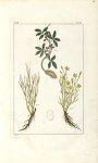 Planche I. Dec. 3. Cent. 2 - Herbier ou collection des plantes médicinales de la Chine d'après un ma [...]