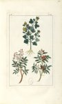 Planche III. Dec. 3. Cent. 2 - Herbier ou collection des plantes médicinales de la Chine d'après un  [...]