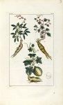 Planche V. Dec. 3. Cent. 2 - Herbier ou collection des plantes médicinales de la Chine d'après un ma [...]