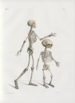 Planche 4 - Squelette - plan latéral du squelette d'adulte. - Squelette de foetus vu en trois quarts [...]