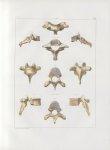 Planche 8 - Vertèbres - Septième vertèbre cervicale (vertèbre proéminente), et huitième vertèbre dor [...]