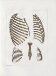 Planche 13 - Thorax, assemblages de côtes et sternum - Traité complet de l'anatomie de l'homme, par  [...]