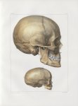 Planche 17 - Têtes - Plan latéral - Traité complet de l'anatomie de l'homme, par les Drs Bourgery et [...]