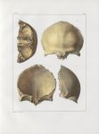 Planche 20 - Os de la tête - Frontal ou coronal d'adulte (grandeur naturelle) - Traité complet de l' [...]