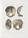 Planche 22 - Os de la tête - Occipital d'un homme adulte (grandeur naturelle) - Traité complet de l' [...]