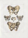 Planche 31 - Bassins - Traité complet de l'anatomie de l'homme, par les Drs Bourgery et Claude Berna [...]