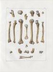 Planche 35 - Humérus, cubitus et radius - Traité complet de l'anatomie de l'homme, par les Drs Bourg [...]