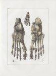Planche 39 - Pied - Traité complet de l'anatomie de l'homme, par les Drs Bourgery et Claude Bernard  [...]