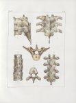Planche 48 - Articulations rachidiennes - De la septième vertèbre dorsale à la dixième - Traité comp [...]