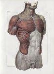 Planche 62 - Ensemble des muscles du tronc - Plan antérieur. Couche superficielle - Traité complet d [...]