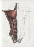 Planche 63 - Ensemble des muscles du tronc - Muscles de la première couche - Grand pectoral, oblique [...]