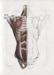 Planche 64 - Paroi antérieure de tronc - Muscles de la deuxième couche - Petit pectoral, sous-clavie [...]