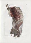Planche 66 - Muscles latéraux du tronc - Troisième couche. Grand dentelé, transverse abdominal, inte [...]