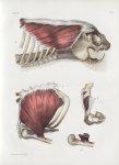 Planche 67 - Muscles latéraux du tronc - Grand pectoral, grand oblique, sous-clavier - Traité comple [...]