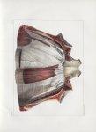 Planche 71 - Muscles de la paroi antérieure du tronc vus par leur surface postérieure - Extrémité in [...]