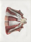 Planche 72 - Muscles de la paroi antérieure du tronc vus par leur surface postérieure - Extrémité in [...]