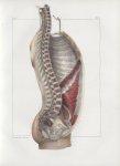 Planche 73 - Coupe verticale du tronc - Plan latéral - Couche intérieure des muscles vue en dedans - [...]