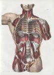 Planche 76 - Coupe verticale du tronc suivant son diamètre transversal - Ensemble des muscles de la  [...]